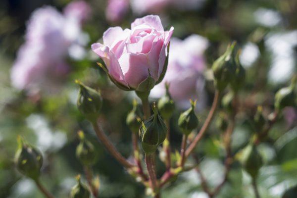 バラ園でかぐわしい香りを楽しむ