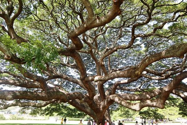 日立の樹を下から見上げる