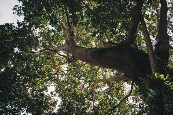 ジャラスパの大きないちじくの樹