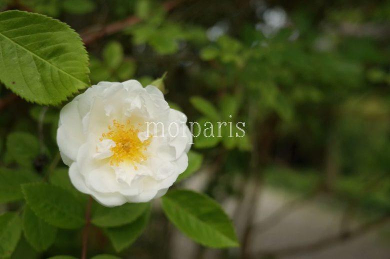 開花し始めたばかりの白バラ