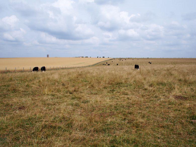 牛が草を食むのどかな光景