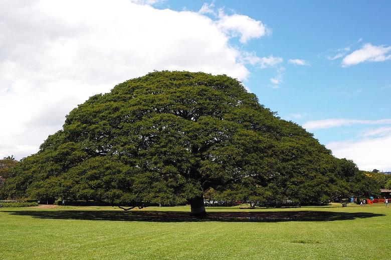 ハワイ・この木なんの木
