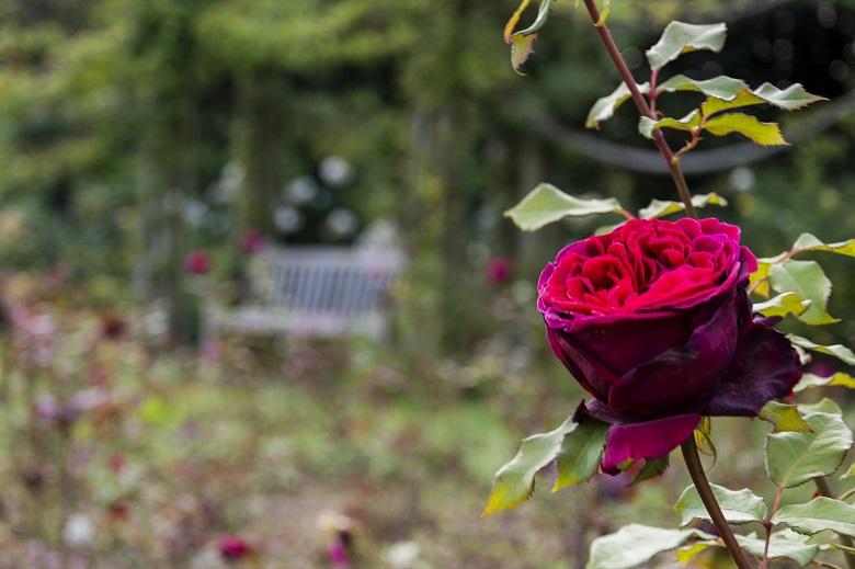 イギリスのシンボル・赤いバラ