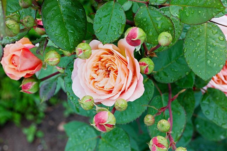 バラの香りはまだ再現されていない